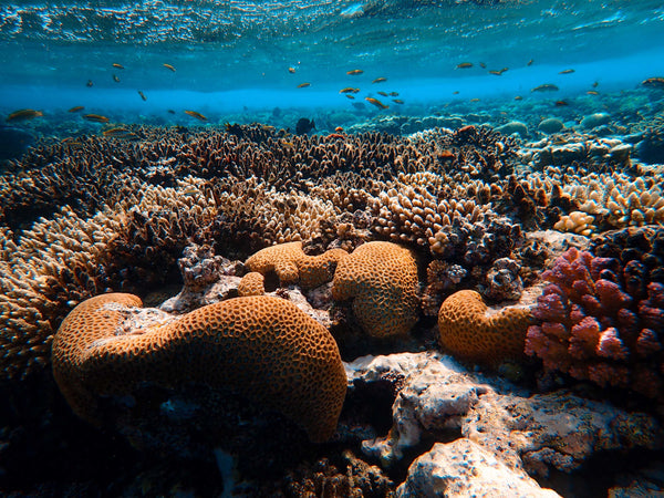 Coral Reef and oxybenzone