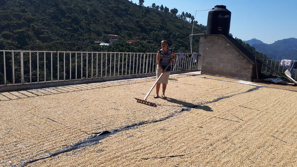 María Eugenia Del Valle (Marlon's Mum) drying coffee | Rumble Coffee Roasters