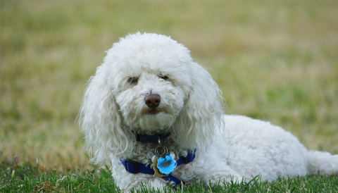 Bichon Frisé dog