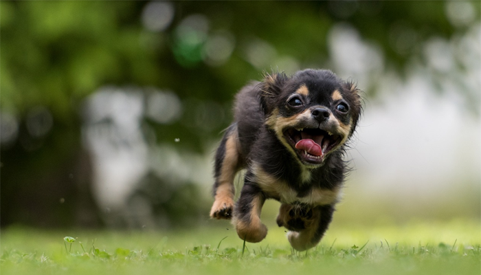 black puppy running in the grass