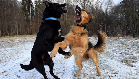 dog play fight