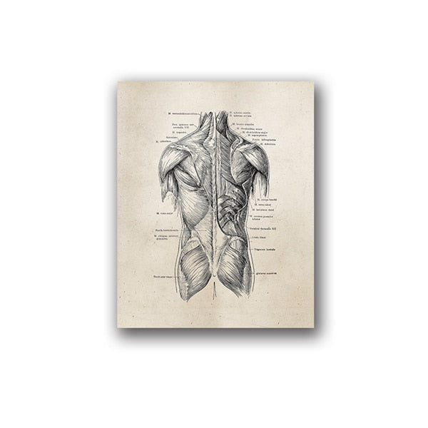 A2 Human Anatomy Canvas Prints