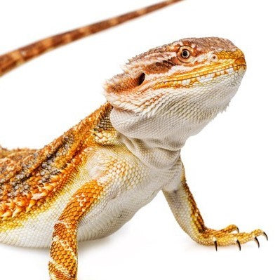 Reptile Supplies, LED lights, Bearded Dragon