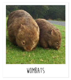 Wombats and the importance of donating to wildlife rescue after the devastating fires in Australia in 2020.