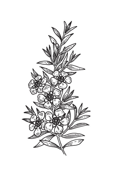 Manuka Leaf Illustration