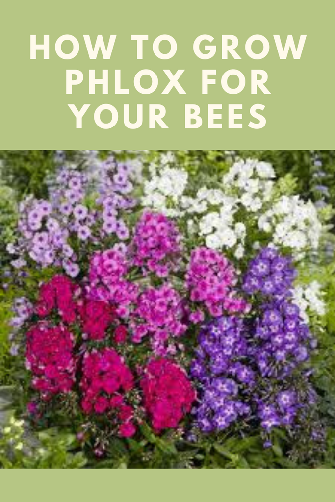 How To: Growing Phlox for Your Bees