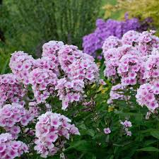 Phlox for Bees