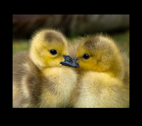 Baby Ducklings- Mindfulness Blog- Afternoon Tea