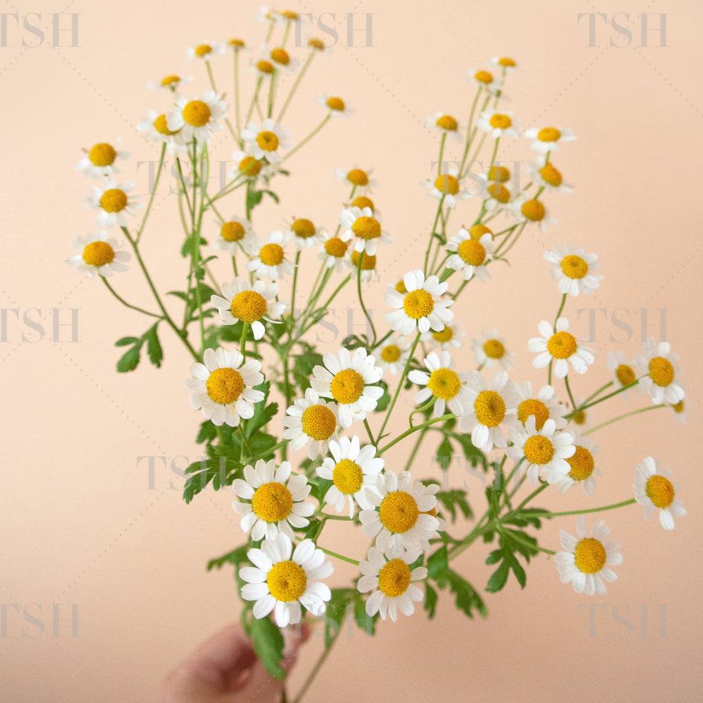 Styled-Stock-Photography-Chamomile-Flowers-Bouquet-Spring-Fever-0260S Square