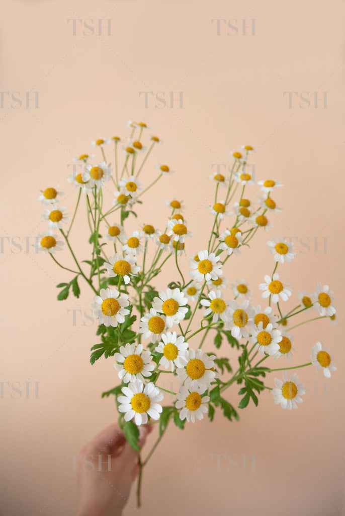 Hand holding a bouquet of chamomile flowers against a peach background.