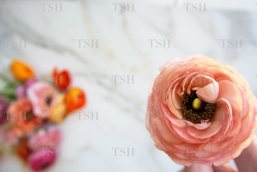 Colorful pink, orange, and coral spring ranunculus flowers on marble background.