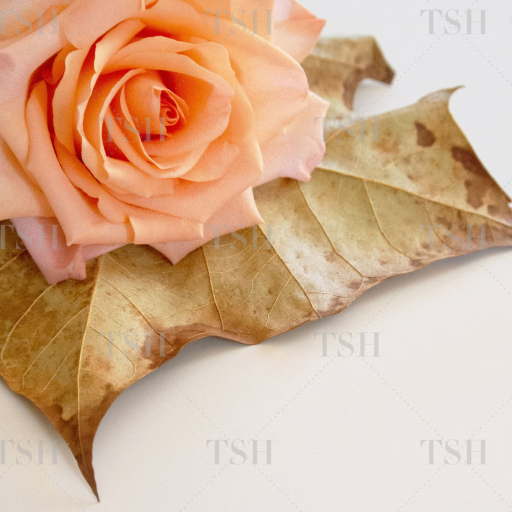 Crisp autumn leaf with blooming peach rose on modern and minimalist white background