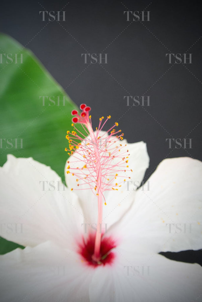 Tropical white hibiscus flower and banana leaf on black background.