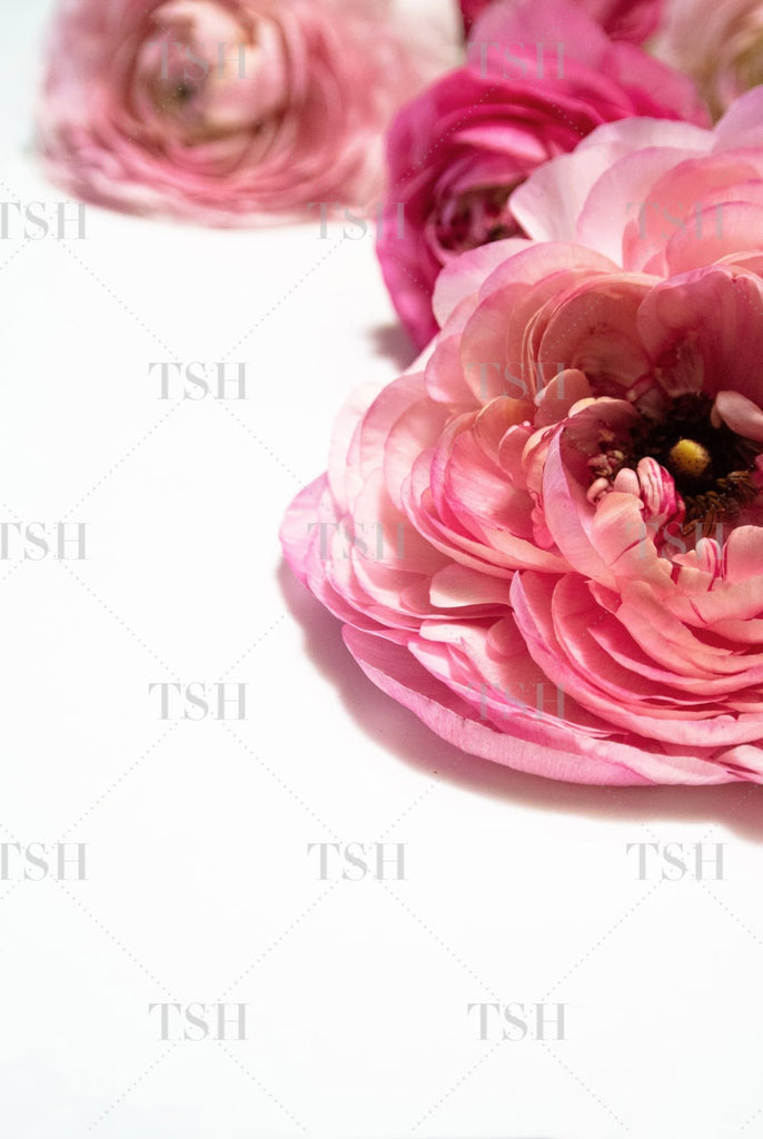 Botanical close up of pink ranunculus flowers on a white background.