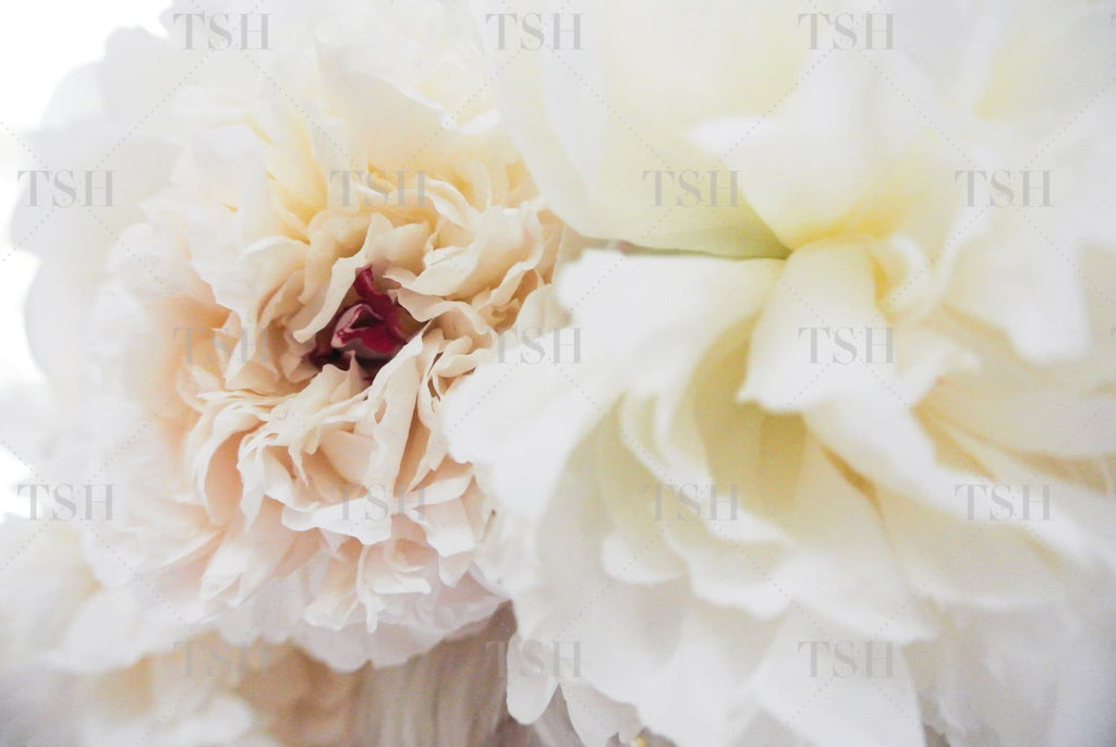 Botanical close up of blush and white peony flowers.