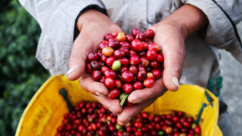 ripe beans coffee harvest