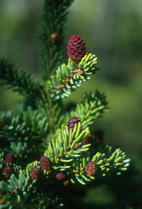 Black Spruce Flower Essence