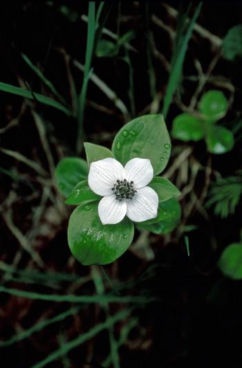Bunchberry Flower Essence