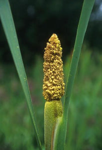 Cattail Pollen Flower Essence