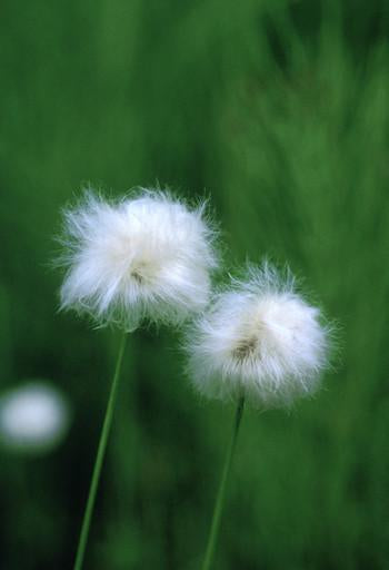 Cotton Grass Flower Essence