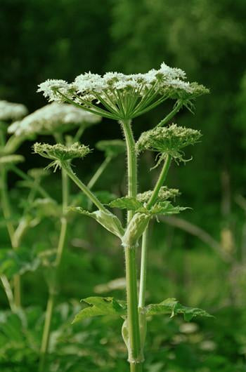 Cow Parsnip Flower Essence