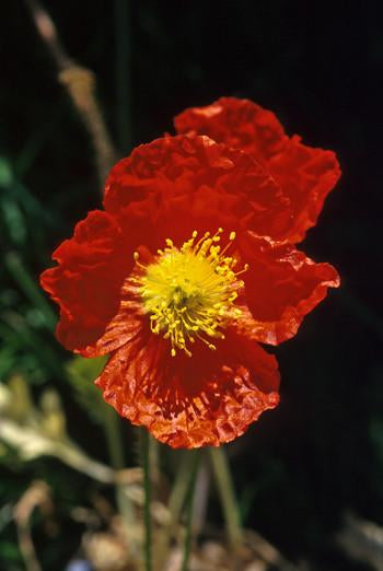 Icelandic Poppy Flower Essence