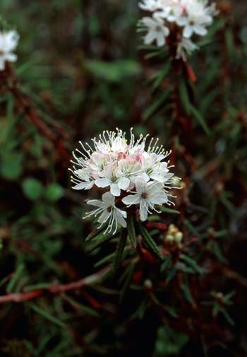Labrador Tea Flower Essence