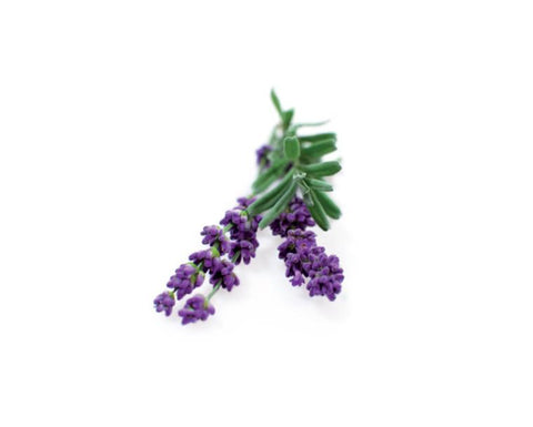 Lavender Alpine Essential Oil Wonderworks
