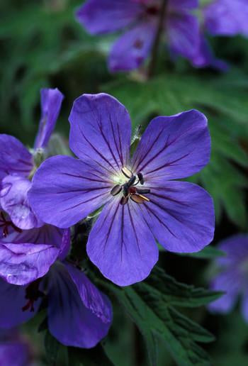 Sticky Geranium Flower Essence