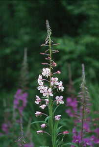 White Fireweed Flower Essence