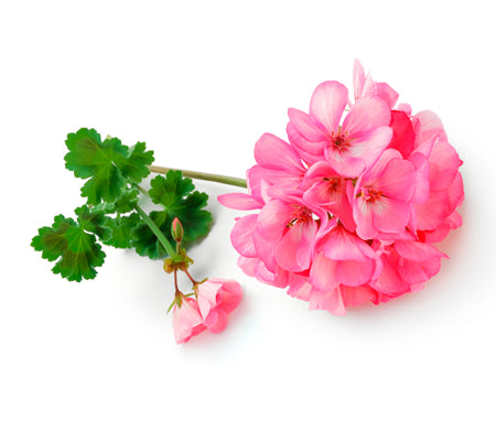 Geranium Essential Oil Wonderworks