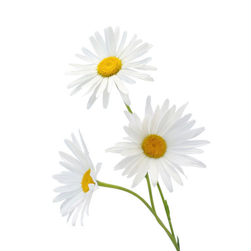 Roman Chamomile 10% Essential Oil (15ml)