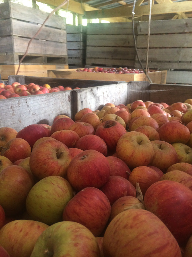 Cider Apples in the Shed
