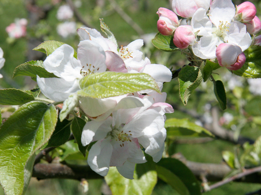 Cider Apple Blossom 3