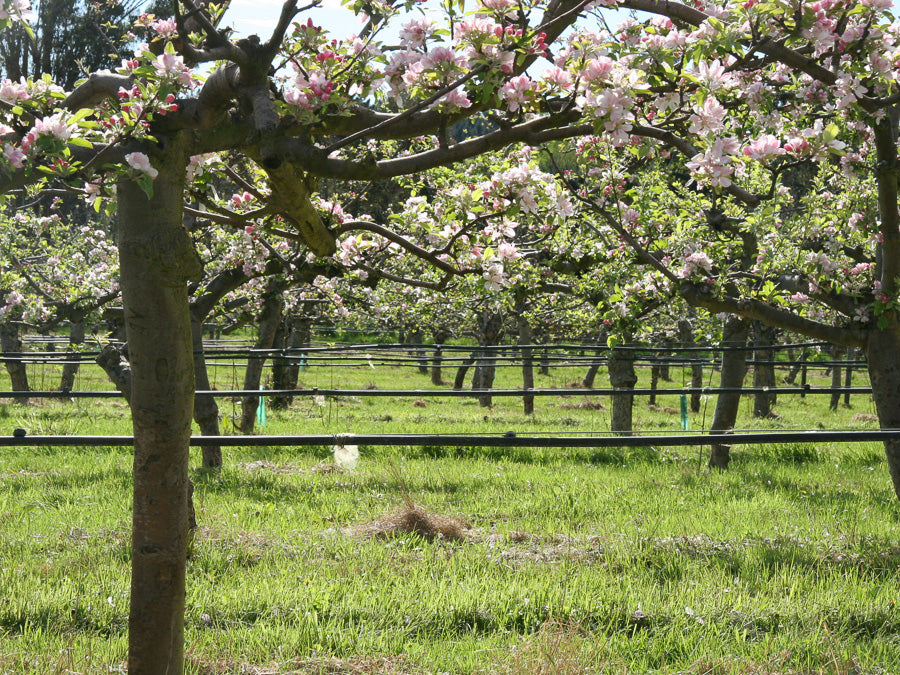 Cider Orchard in Bloom 1