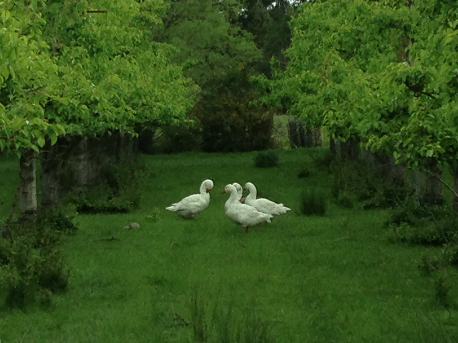 Cider Orchard Geese