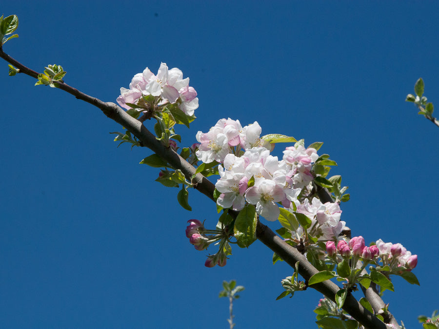 Cider Apple Blossom 1