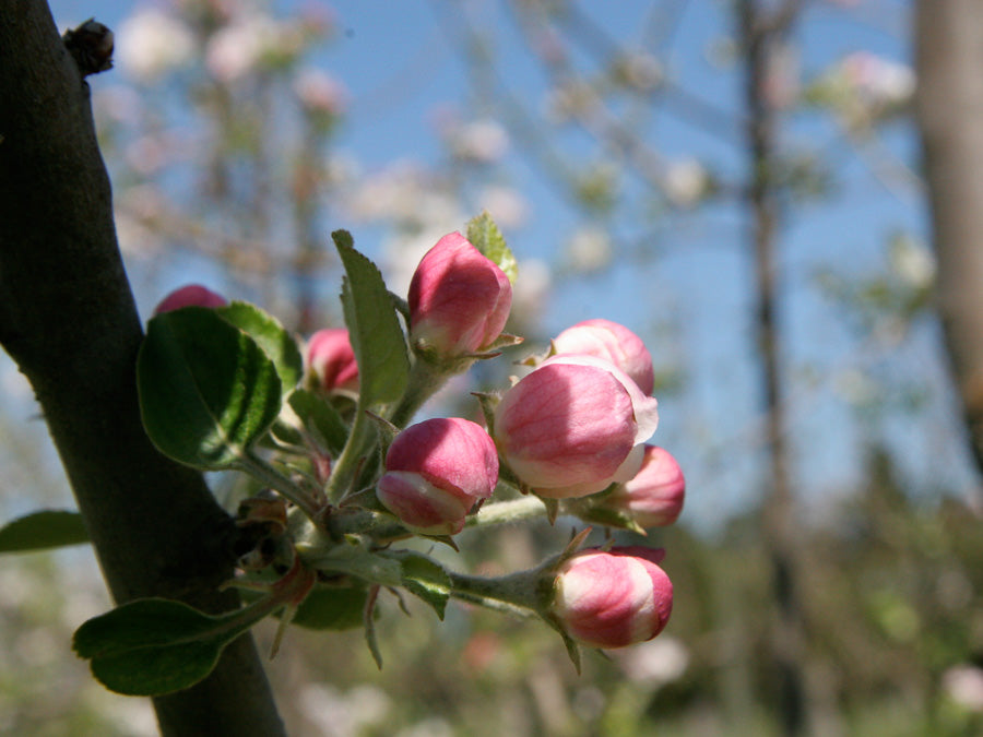 Cider Apple Blossom 2