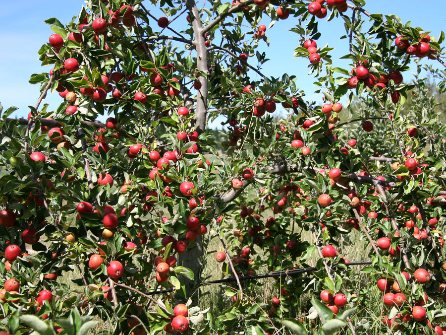 Tree Laden with Cider Apples