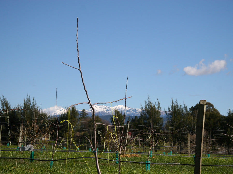 Winter Training Young Cider Trees />