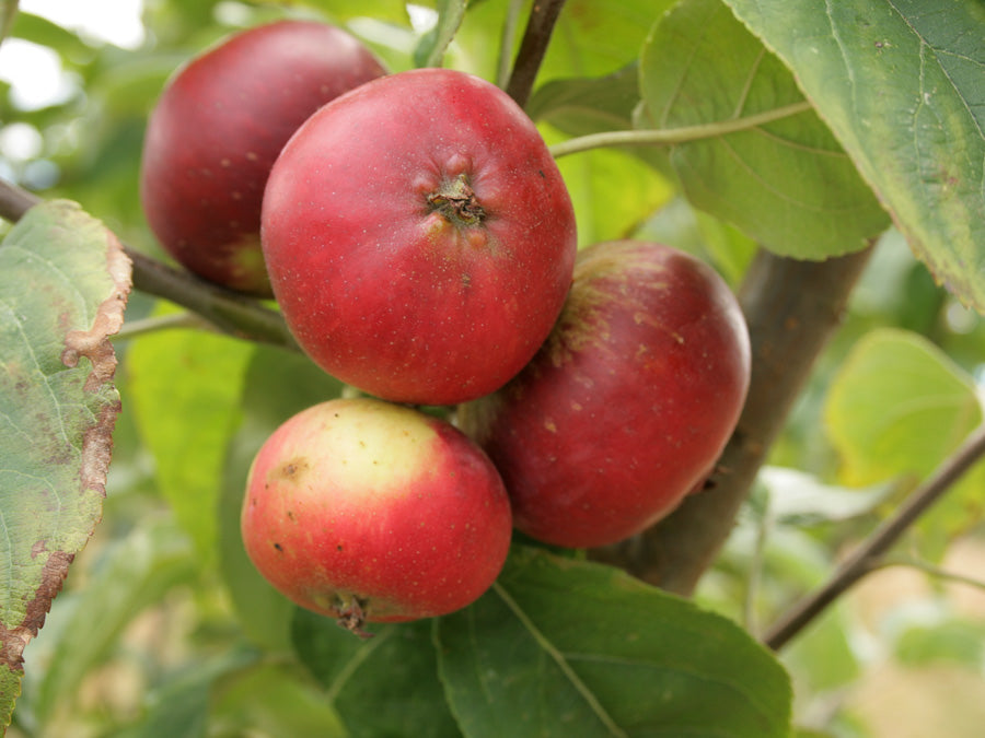 Cider Apples 9