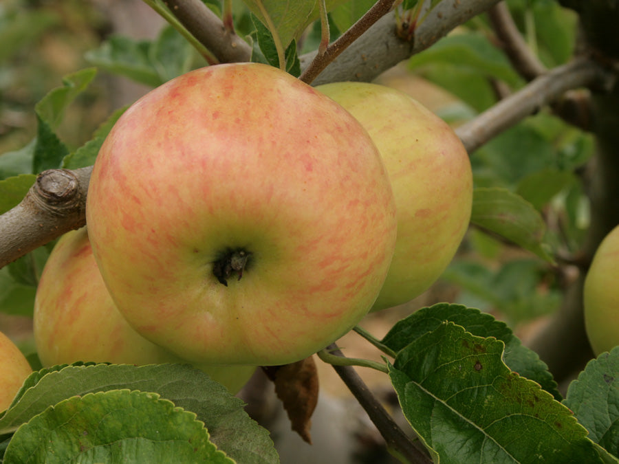 Cider Apples 11