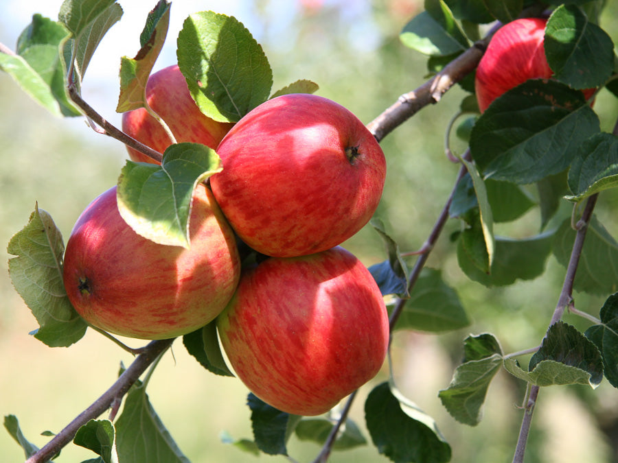 Cider Apples 1