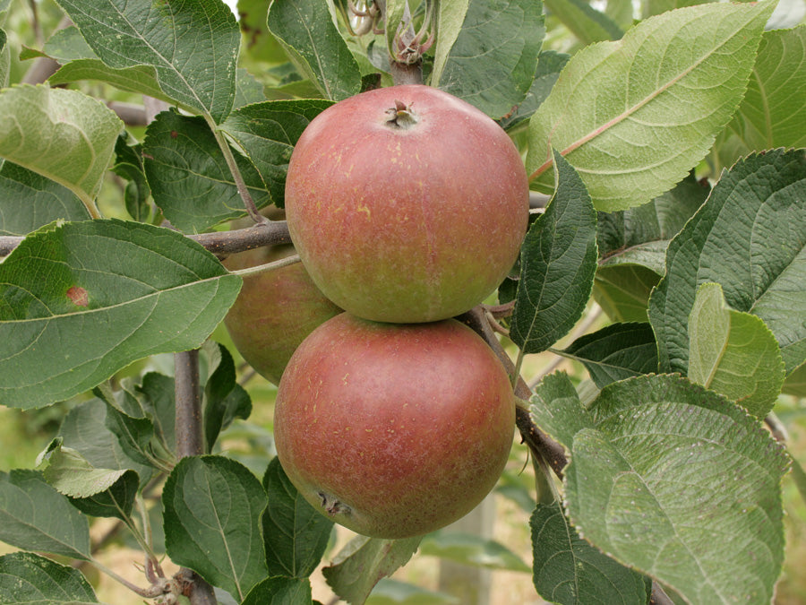 Cider Apples 2