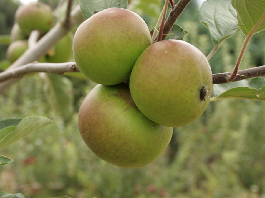 Cider Apples 4