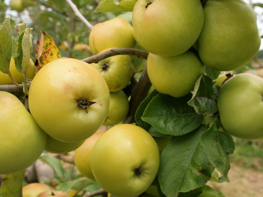 Cider Apples 7