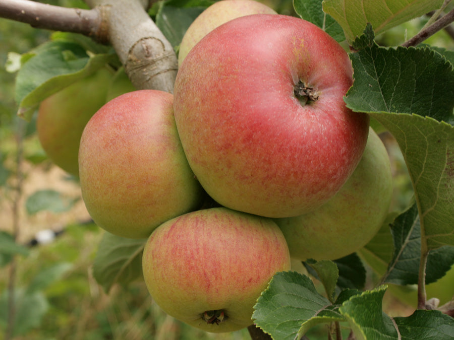Cider Apples 8