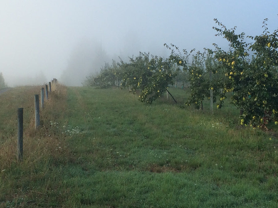 Misty Cider Orchard 1