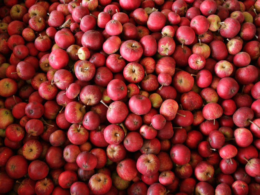 Harvested Cider Apples