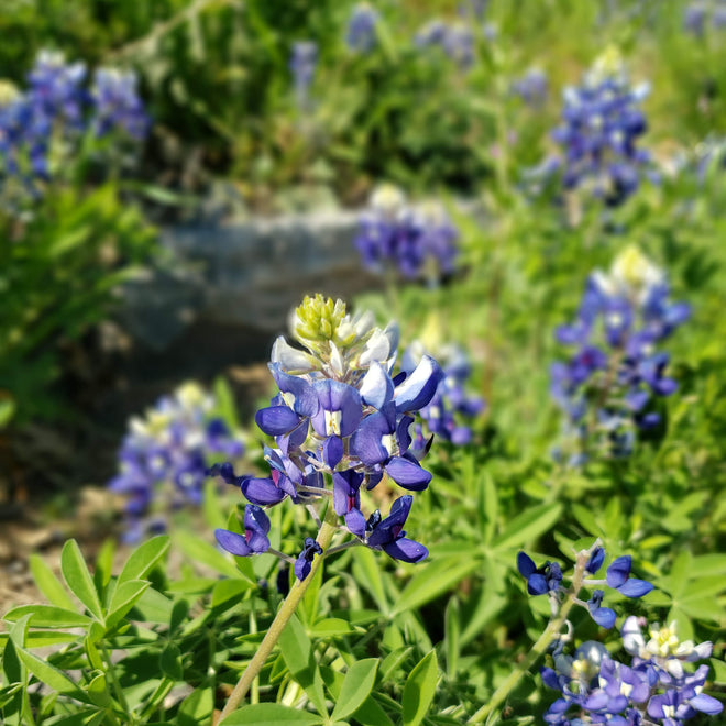 Texas Bluebonnet Products